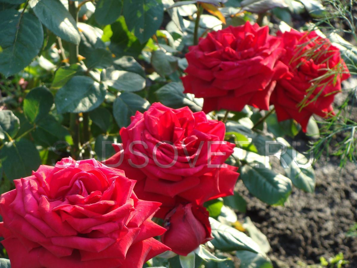Чем кормить розы для обильного цветения